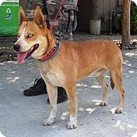 Adopt A Pet :: Thor - Lathrop, CA
