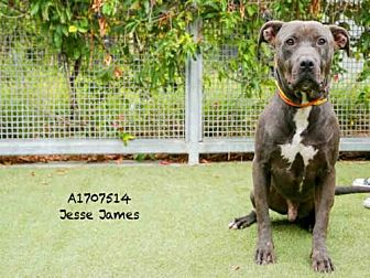 Pit Bull Terrier Dog for adoption in Los Angeles, California - JESSE JAMES