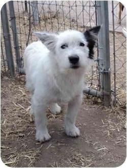 Schnauzer (Miniature)/Terrier (Unknown Type, Medium) Mix Dog for adoption in Pie Town, New Mexico - TWISTY