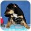 Photo 1 - German Shepherd Dog/Shepherd (Unknown Type) Mix Puppy for adoption in Broomfield, Colorado - Tanith