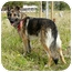 Photo 4 - German Shepherd Dog Dog for adoption in Los Angeles, California - Beowulf von Gardiner