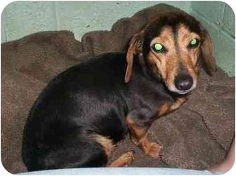 Dachshund Mix Dog for adoption in Honesdale, Pennsylvania - Taffy
