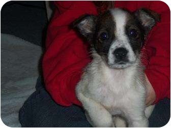 Jack Russell Terrier/Shih Tzu Mix Puppy for adoption in Naugatuck, Connecticut - Alice