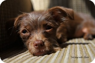 Terrier (Unknown Type, Small) Mix Puppy for adoption in Tustin, California - Faith