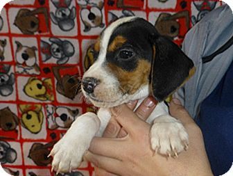 Beagle Mix Puppy for adoption in Oviedo, Florida - Jack