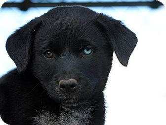 Labrador Retriever/Border Collie Mix Puppy for adoption in Pennigton, New Jersey - Durango