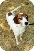 Hound (Unknown Type) Mix Dog for adoption in Plainfield, Illinois - Teak