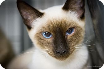 Siamese Cat for adoption in Bulverde, Texas - Ling