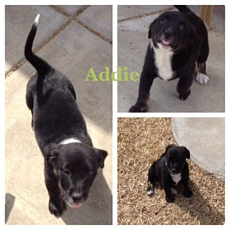 Dachshund/Labrador Retriever Mix Puppy for adoption in Fort Worth, Texas - ADDIE