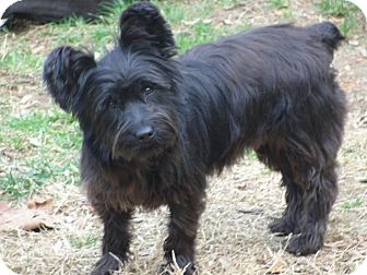 Schnauzer (Miniature)/Yorkie, Yorkshire Terrier Mix Puppy for adoption in Bowie, Maryland - Adopted! Erica
