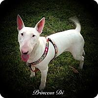 Adopt A Pet :: Princess Di - Sachse, TX