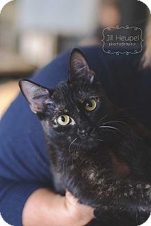 Domestic Shorthair Cat for adoption in Edwardsville, Illinois - Sabrina