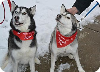 Siberian Husky Mix Dog for adoption in Northville, Michigan - Pending --Bowie - BONDED PAIR