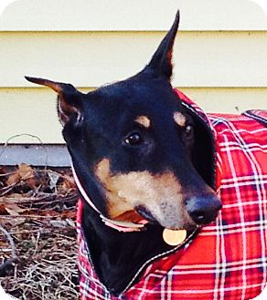 Doberman Pinscher Dog for adoption in New Richmond, Ohio - Whitney--adopted!!