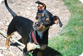 Dachshund/Chihuahua Mix Dog for adoption in Twin Falls, Idaho - Spunky