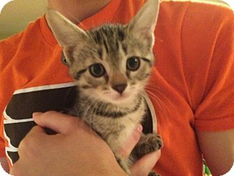 Domestic Shorthair Kitten for adoption in Turnersville, New Jersey - Puffy