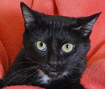 Manx Cat for adoption in Renfrew, Pennsylvania - Momma