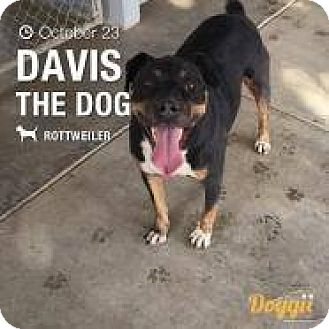 Rottweiler/Cattle Dog Mix Dog for adoption in Tracy, California - Davis