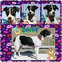 Adopt A Pet :: Daisey - Santa Rosa, CA