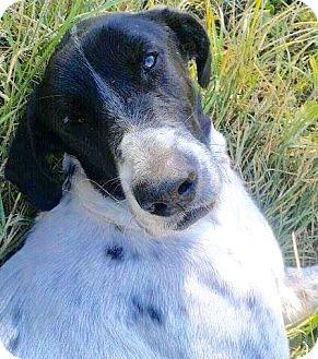 Pointer Mix Dog for adoption in Toronto, Ontario - Dali