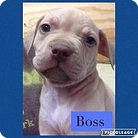 Adopt A Pet :: Boss - PENDING ADOPTION - Woodward, OK