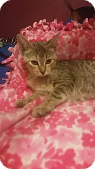 Domestic Shorthair Cat for adoption in Rockford, Illinois - CeCe