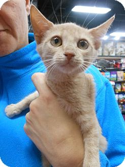 Domestic Shorthair Kitten for adoption in Reston, Virginia - Lane