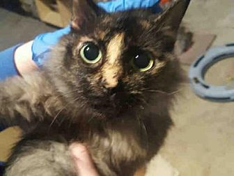 Domestic Mediumhair Cat for adoption in Canfield, Ohio - DARK HORSE