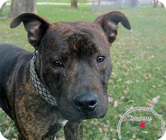 Pit Bull Terrier/Labrador Retriever Mix Dog for adoption in Sidney, Ohio - Kyle