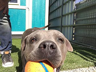 Pit Bull Terrier Mix Dog for adoption in West Hills, California - Aya