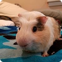 Adopt A Pet :: Malfoy - Harleysville, PA