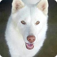 Adopt A Pet :: Eskie - Apple valley, CA