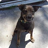 Adopt A Pet :: Amelia - Hardeeville, SC