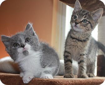Domestic Shorthair Kitten for adoption in Clayton, New Jersey - BLADE & SNIPES