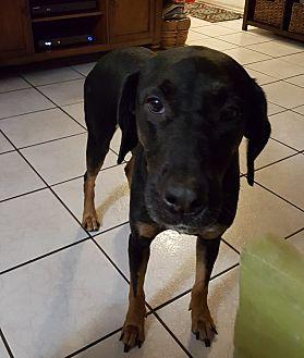 Doberman Pinscher/Pointer Mix Dog for adoption in Pembroke Pines, Florida - Chuchi