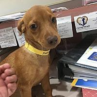 Adopt A Pet :: Nutmeg - Las Vegas, NV