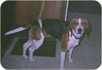 Beagle Dog for adoption in Ventnor City, New Jersey - RYAN