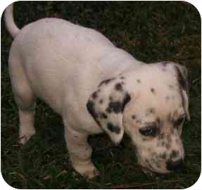 Dalmatian/Pointer Mix Puppy for adoption in League City, Texas - Tramp