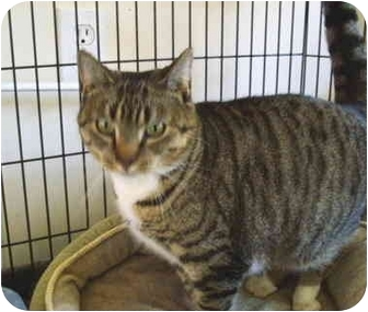 Domestic Shorthair Cat for adoption in Colmar, Pennsylvania - Pawlina