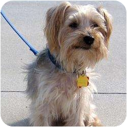 Yorkie, Yorkshire Terrier Dog for adoption in Hardy, Virginia - Sparky