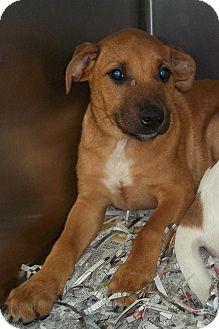 Labrador Retriever/Hound (Unknown Type) Mix Puppy for adoption in Hammonton, New Jersey - bingo
