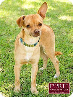 Chihuahua Dog for adoption in Marina del Rey, California - Romeo