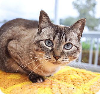 Domestic Shorthair Cat for adoption in Chesapeake, Virginia - Iris