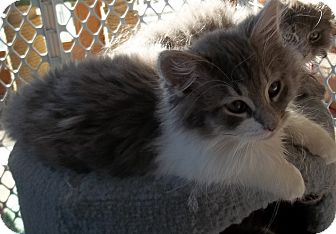 Domestic Longhair Kitten for adoption in Acme, Pennsylvania - Big Boy