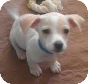 Dachshund/Chihuahua Mix Puppy for adoption in Phoenix, Arizona - Coconut