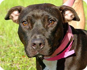 Pit Bull Terrier Mix Dog for adoption in Daytona Beach, Florida - Celeste