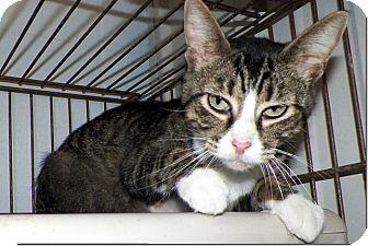 Domestic Shorthair Cat for adoption in Sullivan, Missouri - Carmen