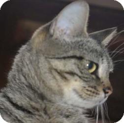 American Shorthair Cat for adoption in Palatine, Illinois - Faith