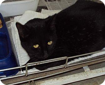 Domestic Shorthair Cat for adoption in Mt. Vernon, Illinois - Maxie