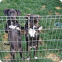 Adopt A Pet :: 13 wks: Clyde & Sister Bonnie - Corona, CA